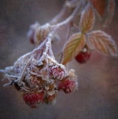 frost catches the last raspberries