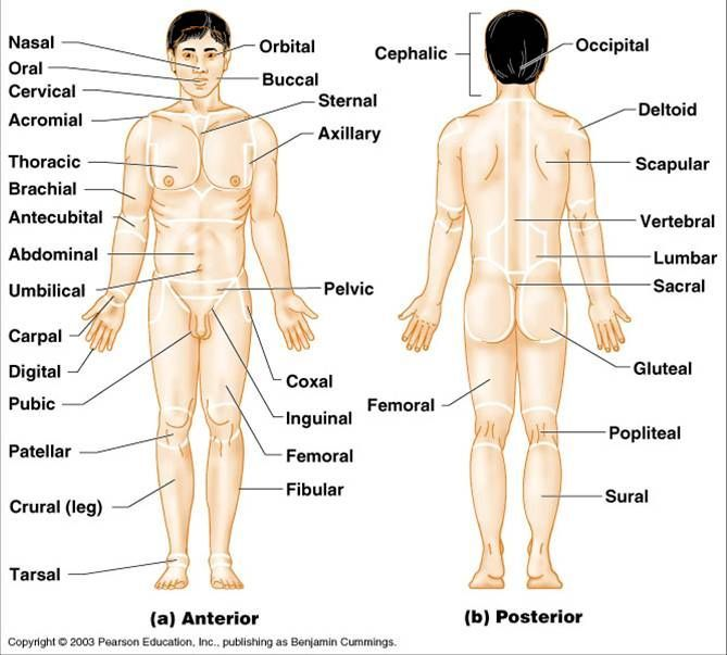 Anatomy terms for body parts