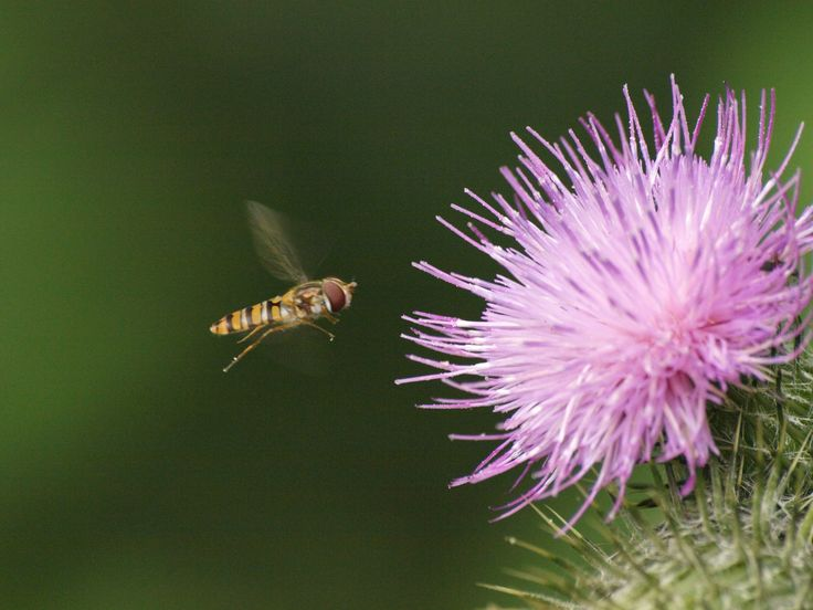 Hover fly coming into land