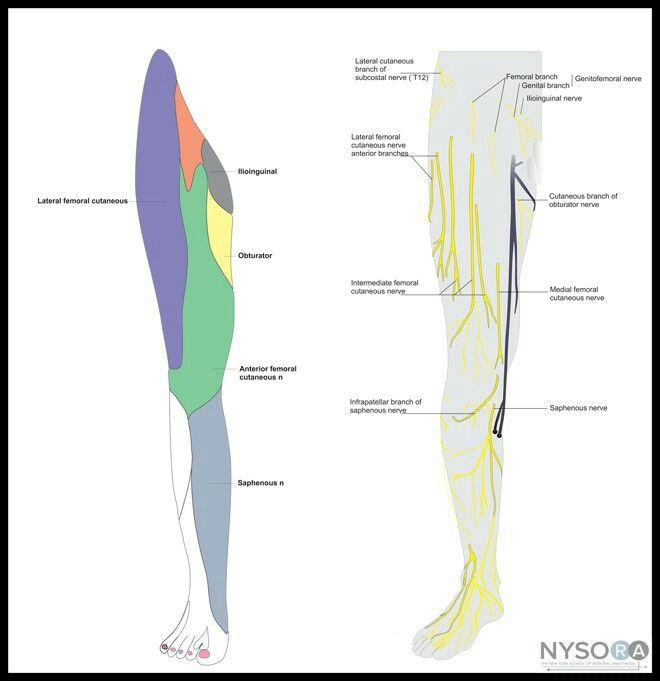 17 best images about femoral nerve block on pinterest, Muscles