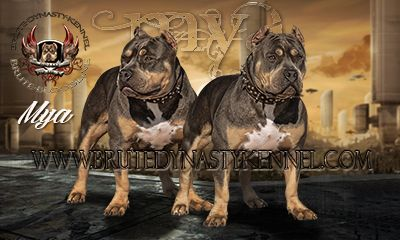 tri color bully pitbull breeder with a kennel in California and Florida. Brute Bloodline Pitbulls Rock!! www.brutedynastykennel.com