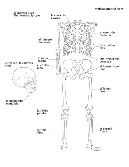 Spanish anatomy terms