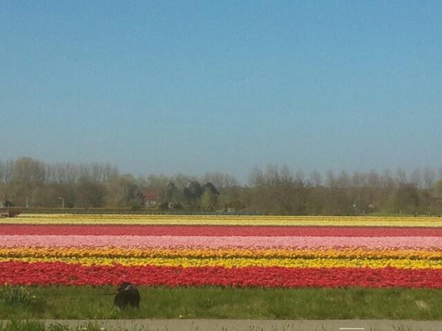 Tulips in Wassenaar Netherlands