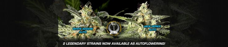 Green House Seed Company - Buy cannabis seeds online