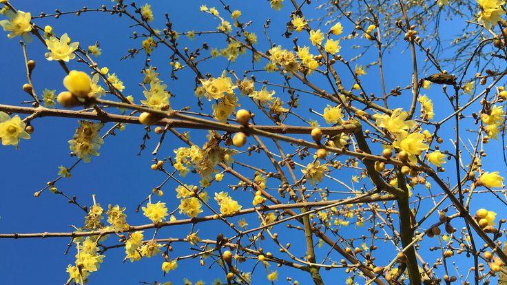 Image result for Chimonanthus praecox wintersweet