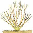 http://articulos.infojardin.com/rosales/Poda_Rosal_arbustivo.htm