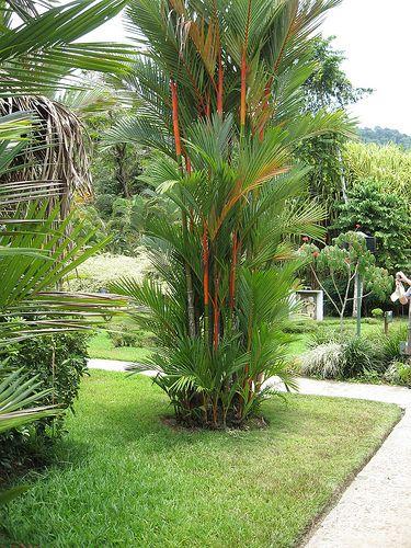 Ornamental Foliage Plant, Lipstick Palm