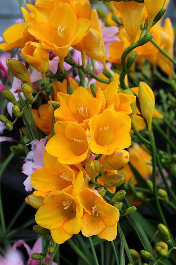 Yellow Freesia In 2020 Freesia Flowers Beautiful Flowers Amazing Flowers