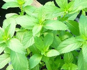 how to grow mint plant at home