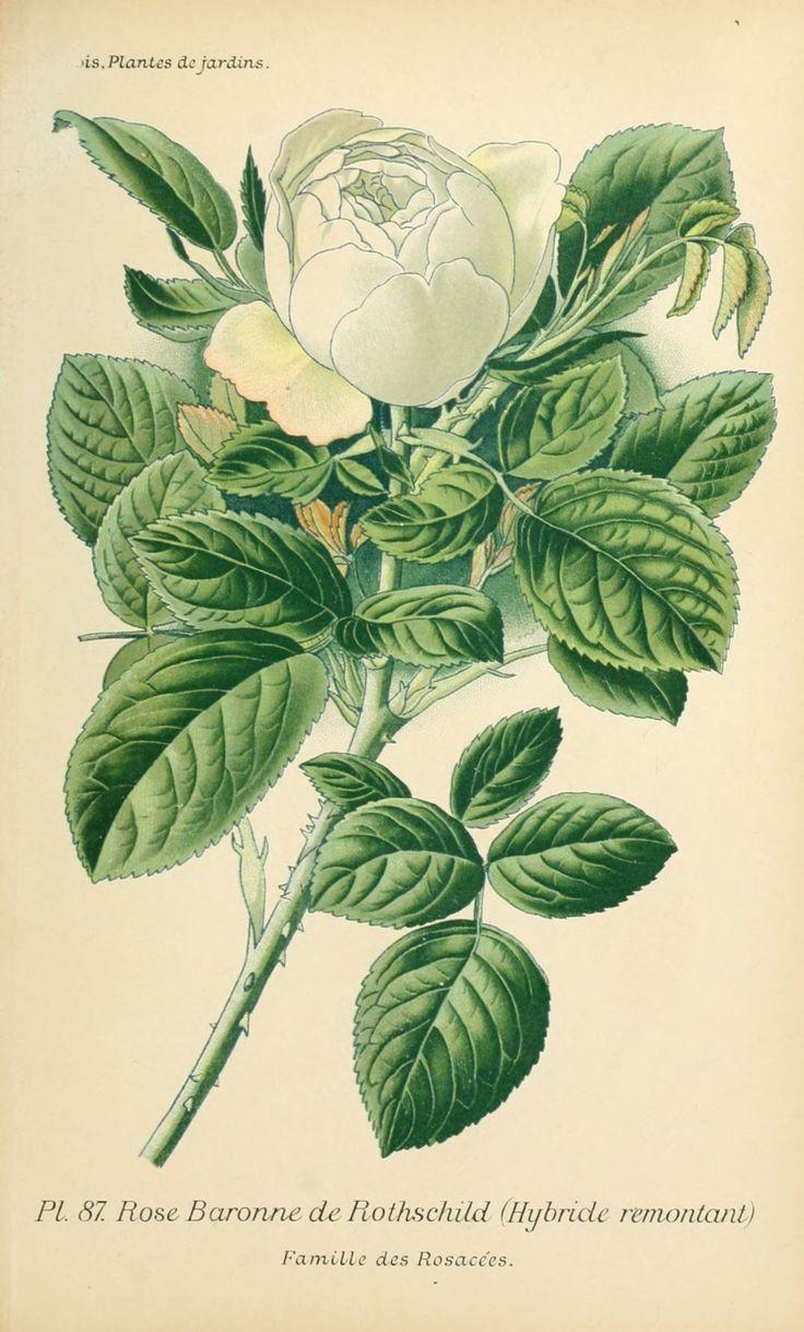 Img dessins plantes et fleurs jardins et appartements dessin de fleur de jardin 0177 rose - Dessin de rose ...