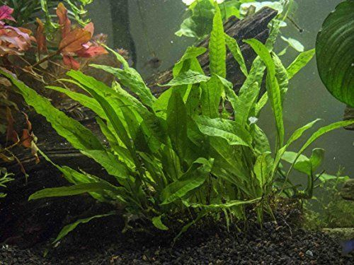 Java Fern - Huge 3 by 5 inch Mat with 30 to 50 Leaves - Live Aquarium Plant by Aquatic Arts * For more information, visit image link.