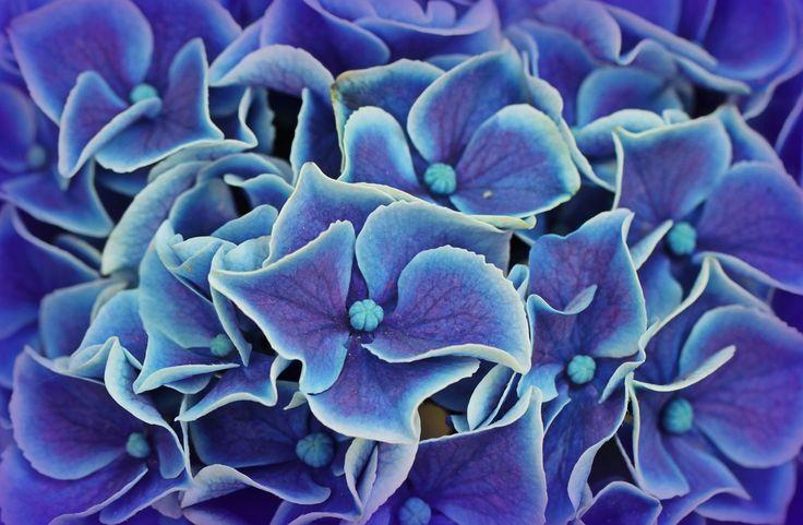 ¿Cuáles son los cuidados de las hortensias? - https://www.jardineriaon.com/cuidados-hortensias.html #plantas