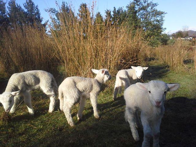 Lambs in Tasmania.