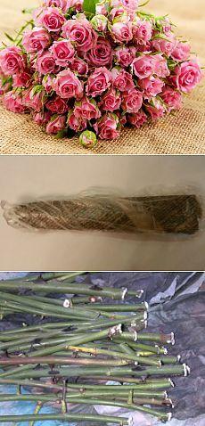 простой и эффективный метод размножения роз