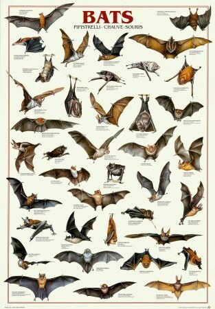 Image result for thousand bat species