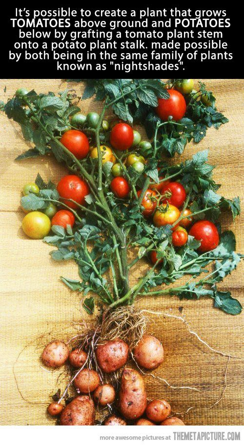 Tomato-Potato plant… since both are in the same  plant family, it's possible to graft one on the other. ...the only problem is finding the right combination, because (more often than not) the potatoes stop before the tomatos are ripe. So you need long-season potatoes and fast tomatos.