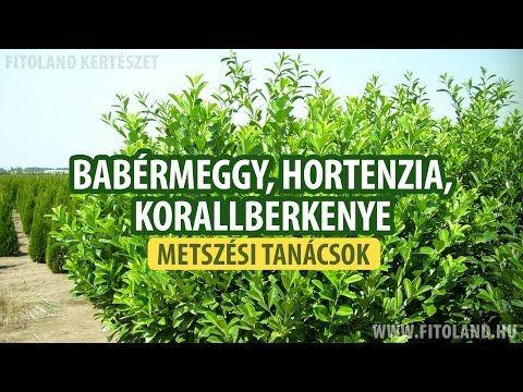 Babérmeggy, hortenzia, korallberkenye metszése -kertészeti tanácsok - YouTube