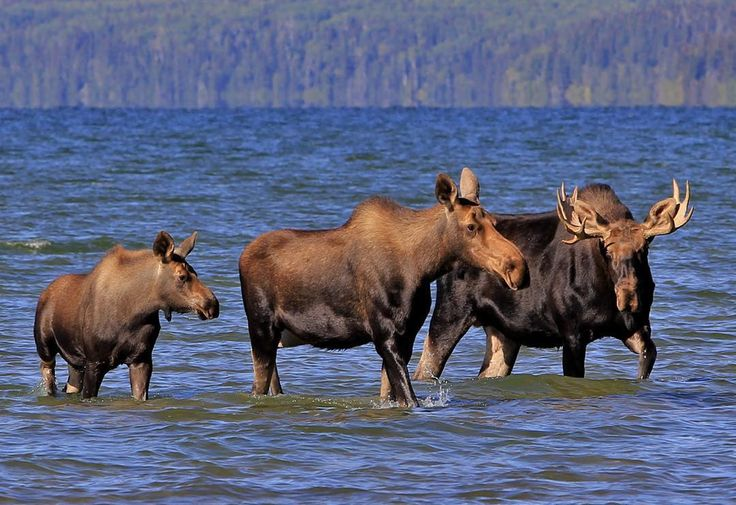 """An older pic, but still one of my favorites. During the 2013 season i came across a beautiful family of Moose walking in the Kingsmere Lake at the Prince…"""