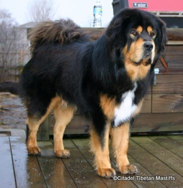 ***Tibetan Mastiff - cool/dry climate, strong fence; hip dysplasia, thyroid problems, skin conditions, ear infections; frequent brushing during shedding seasons; stubborn; loving & protective of families - territorial