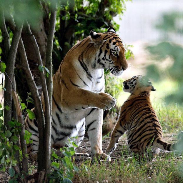 Un cucciolo di tigre dell'Amur, o tigre siberiana, insieme alla madre Tschuna al Yorkshire Wildlife Park vicino a Doncaster, nel nord dell'Inghilterra