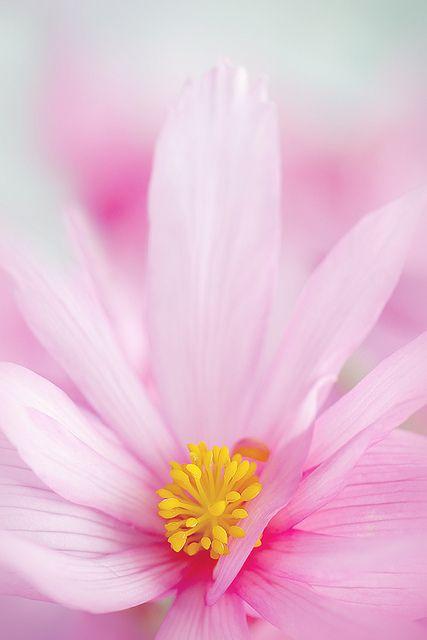 Begonia boliviensis pink | Flickr - Photo Sharing!