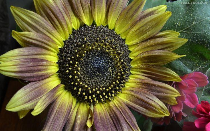 Kwiat, Słonecznik, Przyprószony, Śniegiem