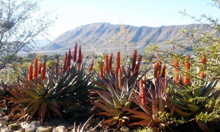 Aloe Ferox's - back drop of the Swartberg Mountains