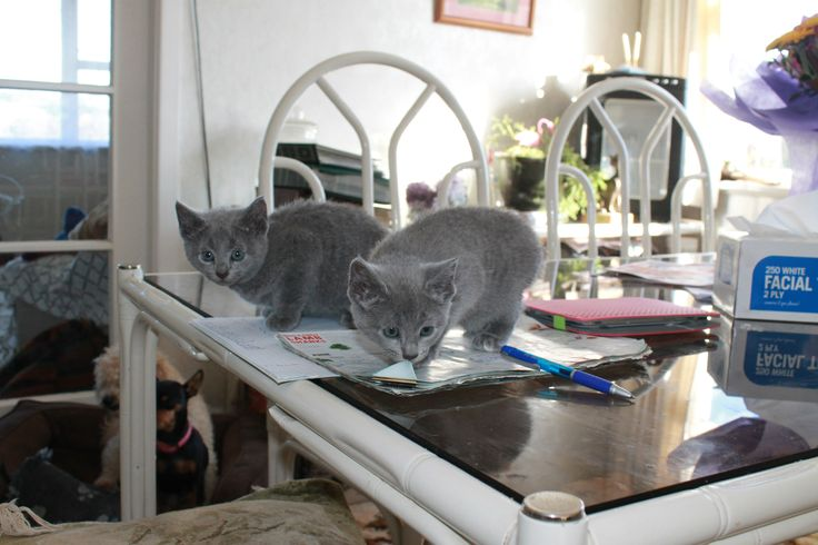 White-toed Juno at right #russianblue #kitten