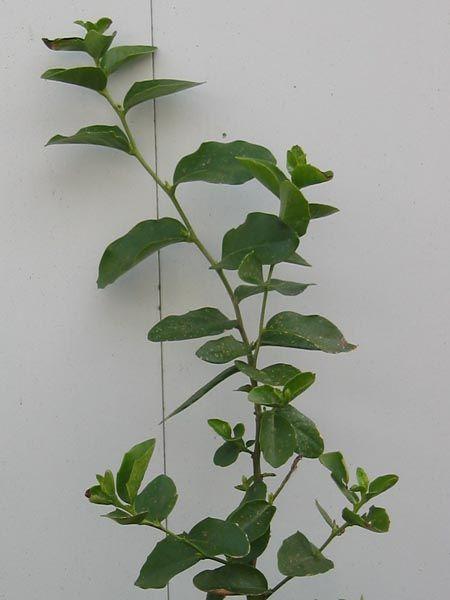 Quillaja saponaria | Trees | Patagonia Plants