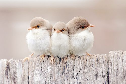 Such tiny, fluffy creatures. :-): Animals, Sweet, Nature, Birdie, Three Little Birds, Things, Beautiful Birds, Photo