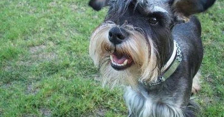 Cómo cortar el pelo de un Schnauzer miniatura. Cortar el pelo de un Schnauzer miniatura, le da al perro una apariencia limpia y también proporciona buena salud a la piel y a las orejas. Con el el equipo apropiado, puedes convertirte en el peluquero de tu propio perro.