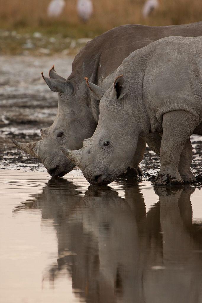 Africa | Rhinos drinking photographed near Lake Nakuru, Masai Mara, Kenya