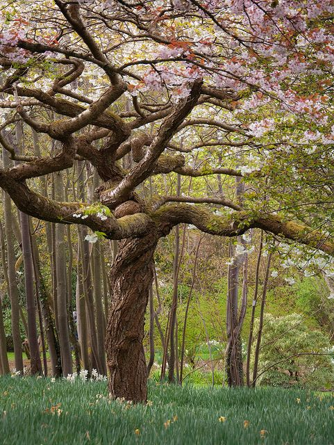 #Tree | Bodnant Gardens, Wales. v/Flickr.: Blossoms Magnolias, Twists Trees, Nature, Wales, Travel, Place, Magnolias Trees, Beauty Trees, Bodnant Gardens