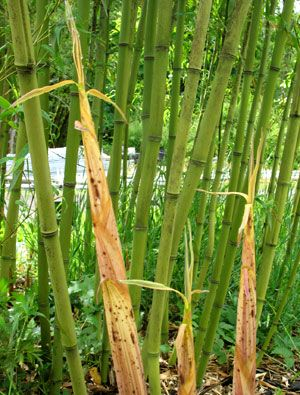 faq about growing and controlling bamboo - 300×395