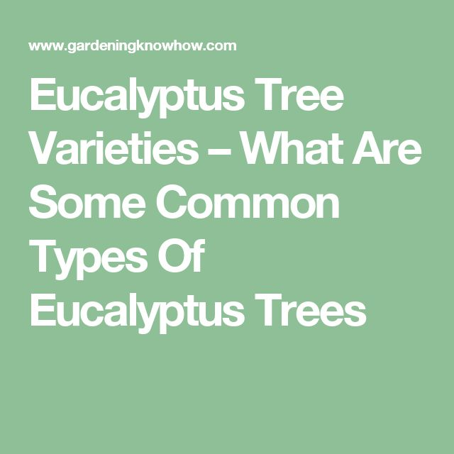 Eucalyptus Tree Varieties – What Are Some Common Types Of Eucalyptus Trees