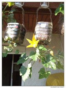 Courgette plantée à l'envers, en bouteille suspendue, avec une belle fleur.
