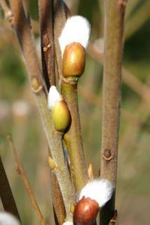 Salweide / Palmweide - Salix caprea