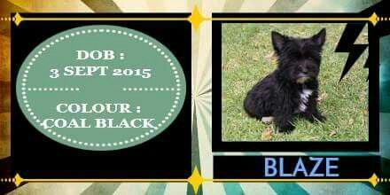 Coal Black Yorkshire Terrier Male Available