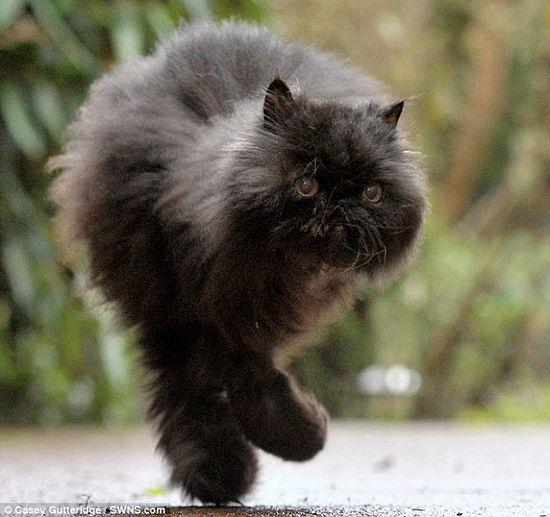 Caffrey a two legged cat proves experts wrong