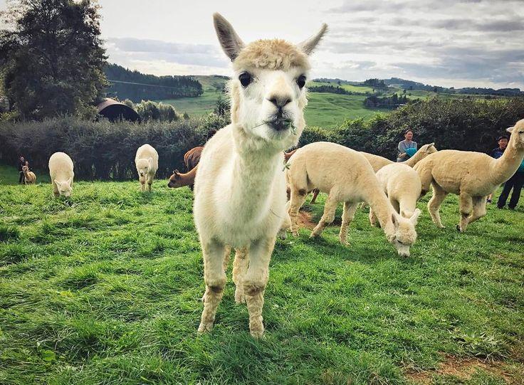 Smile - - - #alpaca #alpacas #farmlife #animal #photooftheday #cute #pets #instagood #animales #cute #love #nature #animallovers #pets_of_instagram #petstagram #petsagram #nz #newzealand #auckland #farm #sky #grass #lovely #green #fun #funny #smile #smiles