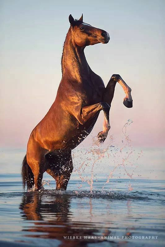 Horse rearing up in the water. (93) Horses & Freedom - Photos