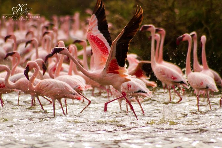 The Pink spectacle at Lake Oloiden Kenya.