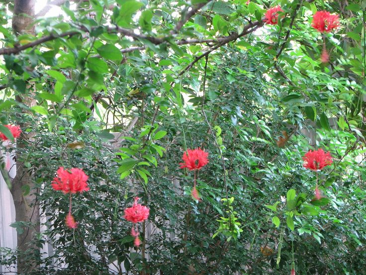Japanese Landscaping Plants | Rose Mallow Coral Hibiscus red japanese lantern rare unusual plants ...