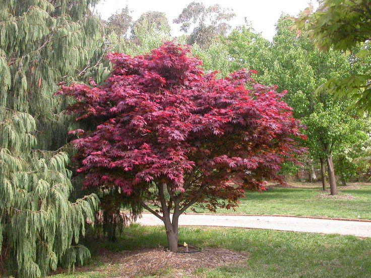 Acer palmatum Atropurpureum - Red Leaf Japanese Maple