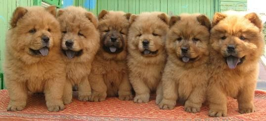 chow chow. they are just the cutest dogs ever