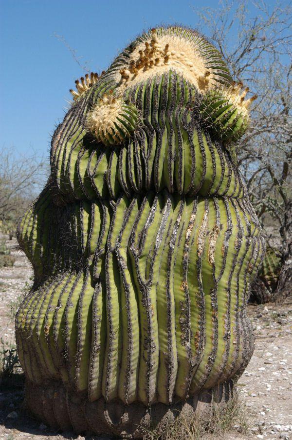 echinocactus platyacanthus | Een enorme Echinocactus platyacanthus
