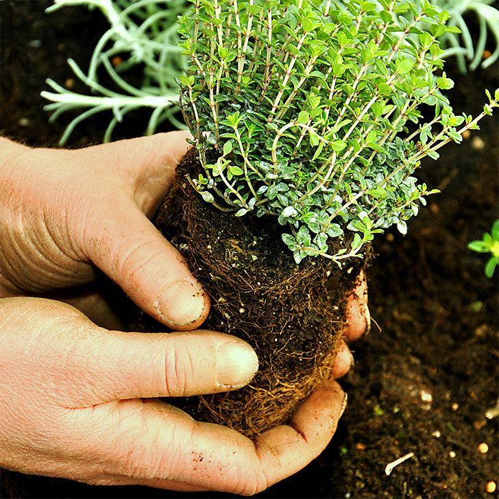 Great Kr uter zur ckschneiden pflanzen oder s en