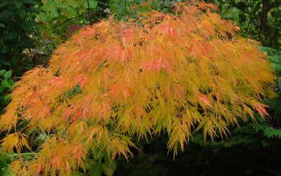 625 Beste Afbeeldingen Van Trees Japanese Maple Japanse Esdoorns Graven En Japanse Tuinen
