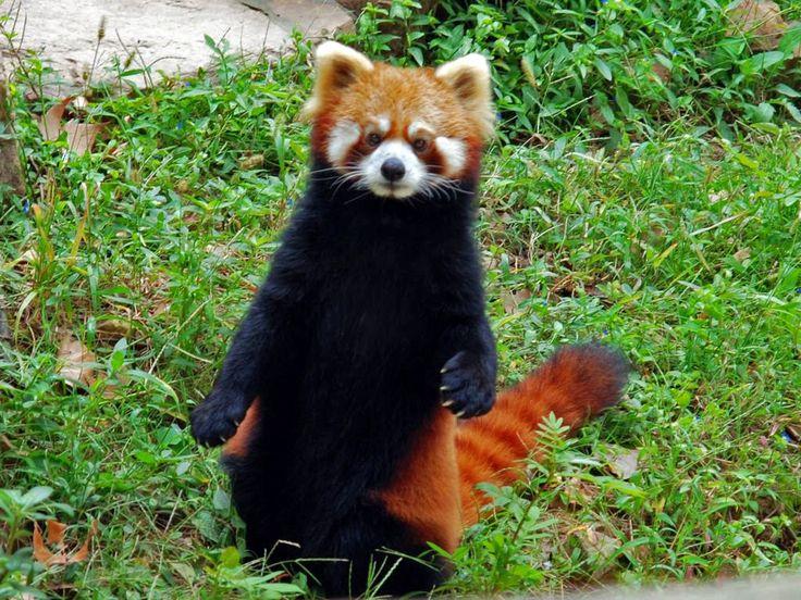 Assez 19 best Red Panda Habitat images on Pinterest | Panda habitat, Red  EX76