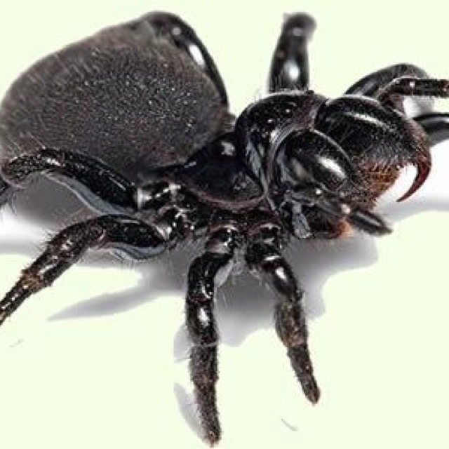 Trapdoor Spiders Bite: 24 Best Images About Australian Spiders On Pinterest